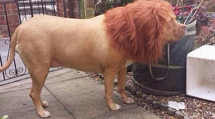 el perro disfrazado de leon