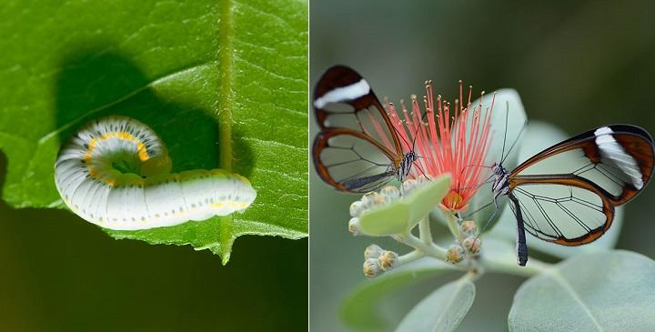 fotos orugas mariposas1
