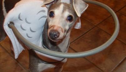 Aureola para perros ciegos10