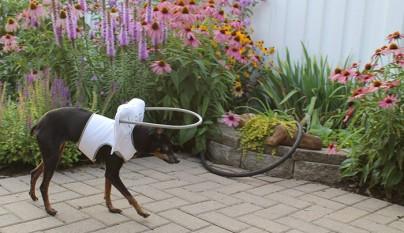 Aureola para perros ciegos14