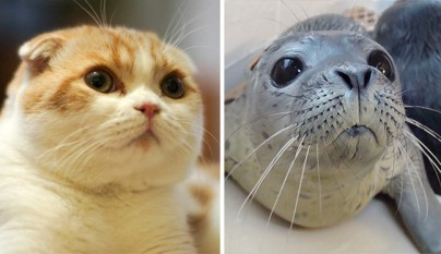 Gato foca