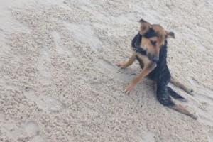 Leo, el perro parapléjico rescatado por una modelo en Tailandia