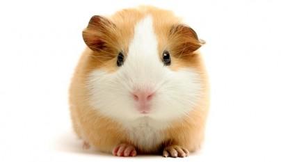 guinea pig over white