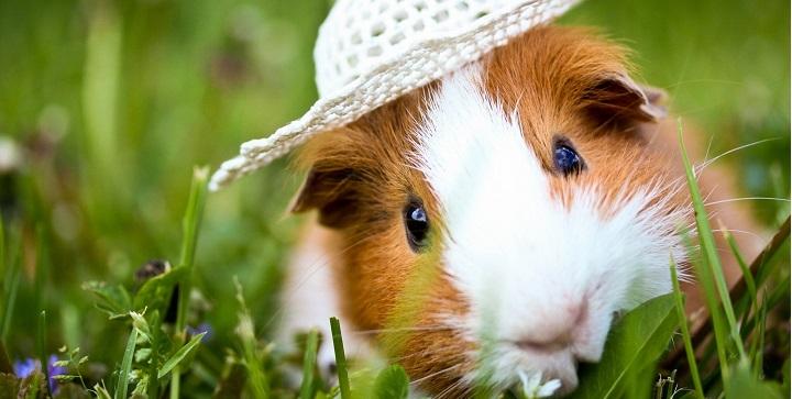 guinea pig over white1
