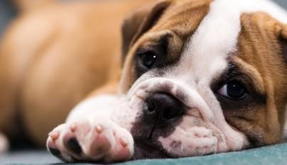 perros fiebre