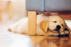 Cuidados de un cachorro con síntomas de parvovirus