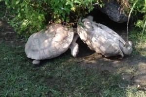 Vídeo de una tortuga que rescata a otra de morir boca arriba