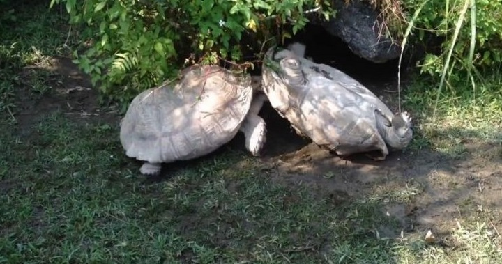 Tortuga rescata a otra