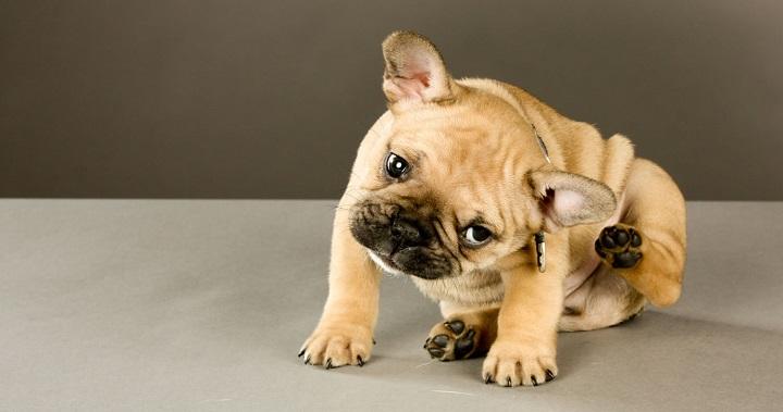 Remedios caseros contra las pulgas de los perros - Como eliminar las pulgas de casa remedio casero ...