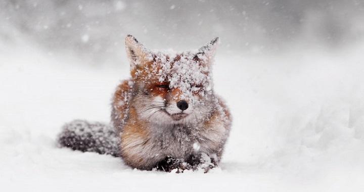 zorros en nieve