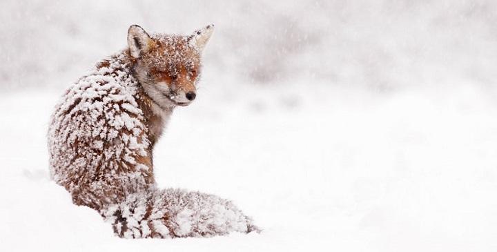 zorros en nieve1