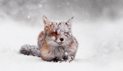 zorros nieve1