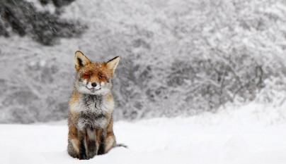 zorros nieve10