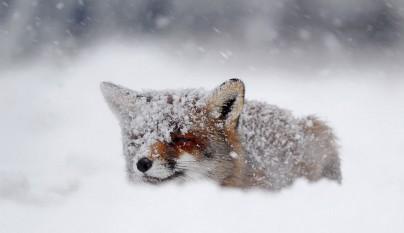 zorros nieve12