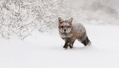 zorros nieve13