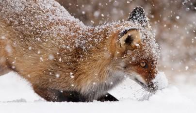zorros nieve15
