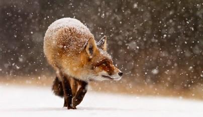 zorros nieve2