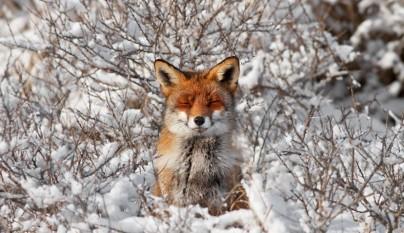 zorros nieve4