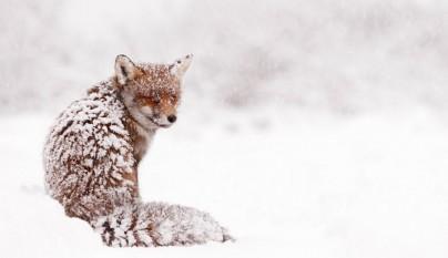 zorros nieve5
