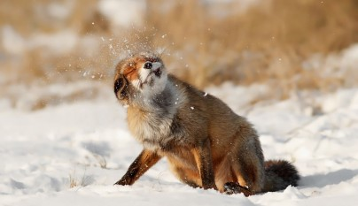 zorros nieve6