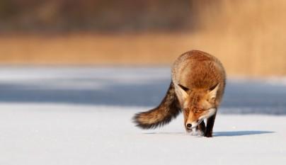 Red fox (vulpes vulpes) crossing a frozen lake