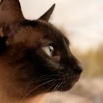 Las razas de gatos que viven más años