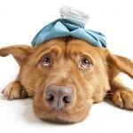 Riesgos de dar medicinas humanas a los perros