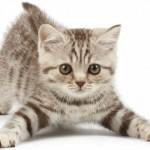 Consejos para evitar que el gato se escape de casa