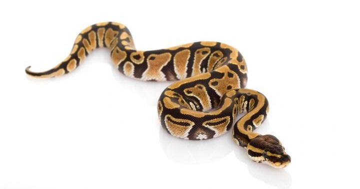 serpiente bebe