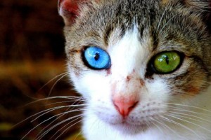 Fotos de animales con ojos de distinto color