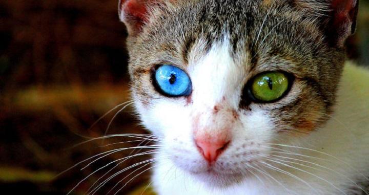 animales ojos distinto color