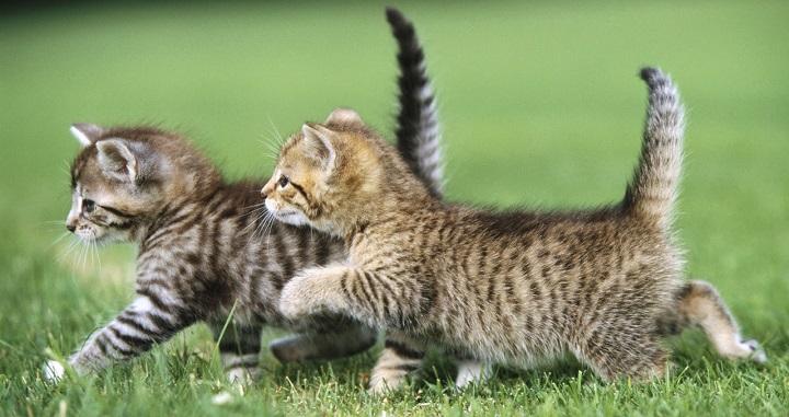 dos o mas gatos