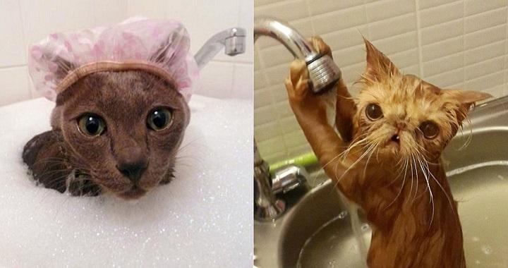 gatos a los que les gusta el agua
