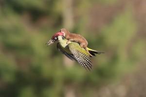 La historia de la comadreja que voló sobre un pájaro
