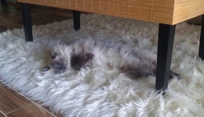 Gatos camuflados22