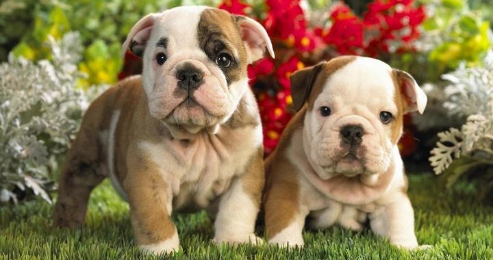 destete cachorros