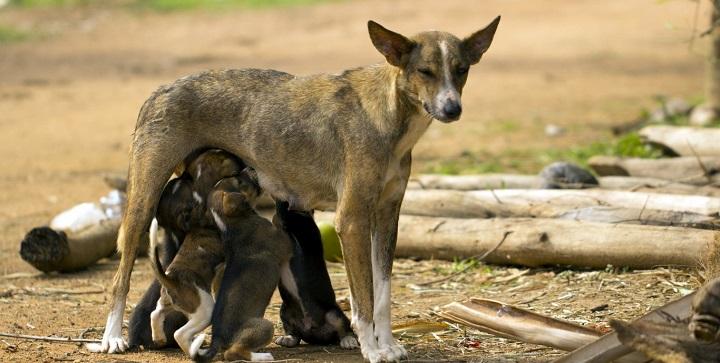 lactancia cachorros1