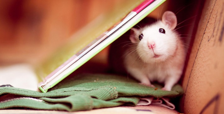 Fotos ratas adorables1