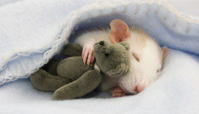 Fotos ratas1