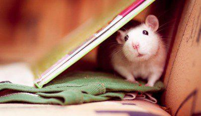 Fotos ratas11
