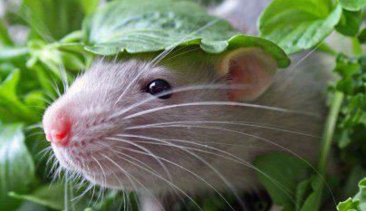 Fotos ratas12