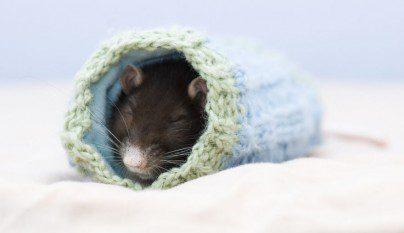 Fotos ratas14