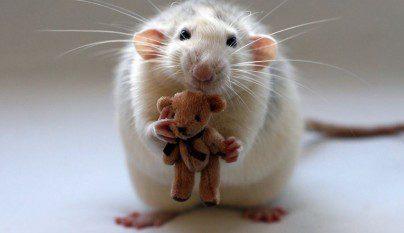 Fotos ratas3