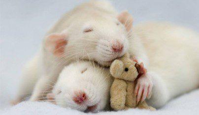 Fotos ratas4