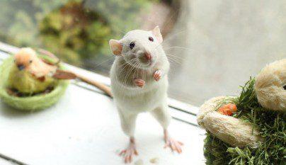 Fotos ratas8
