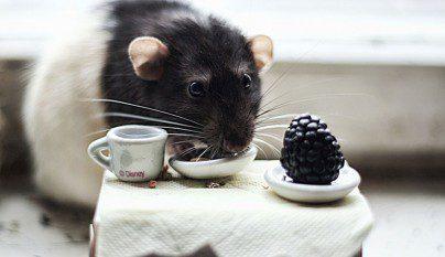 Fotos ratas9
