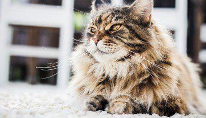 gato bolas de pelo