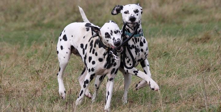 perro blanco sordera1