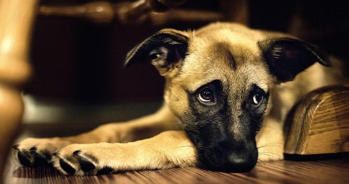 perro depresion sintomas