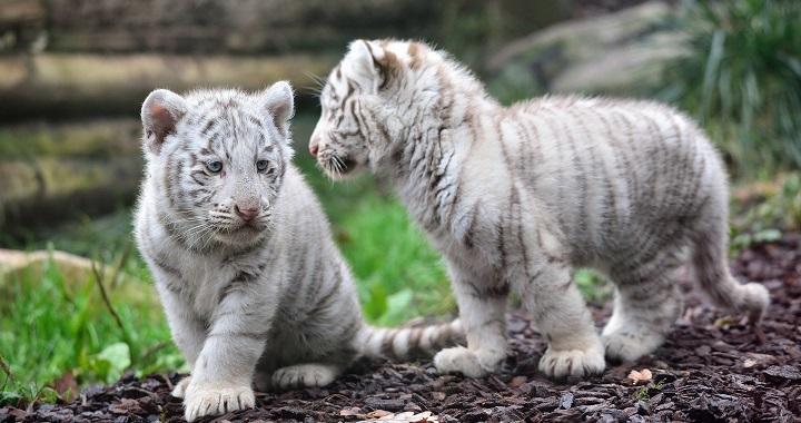 rescate tigres blancos